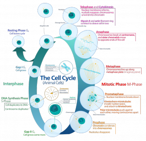 Animal_cell_cycle
